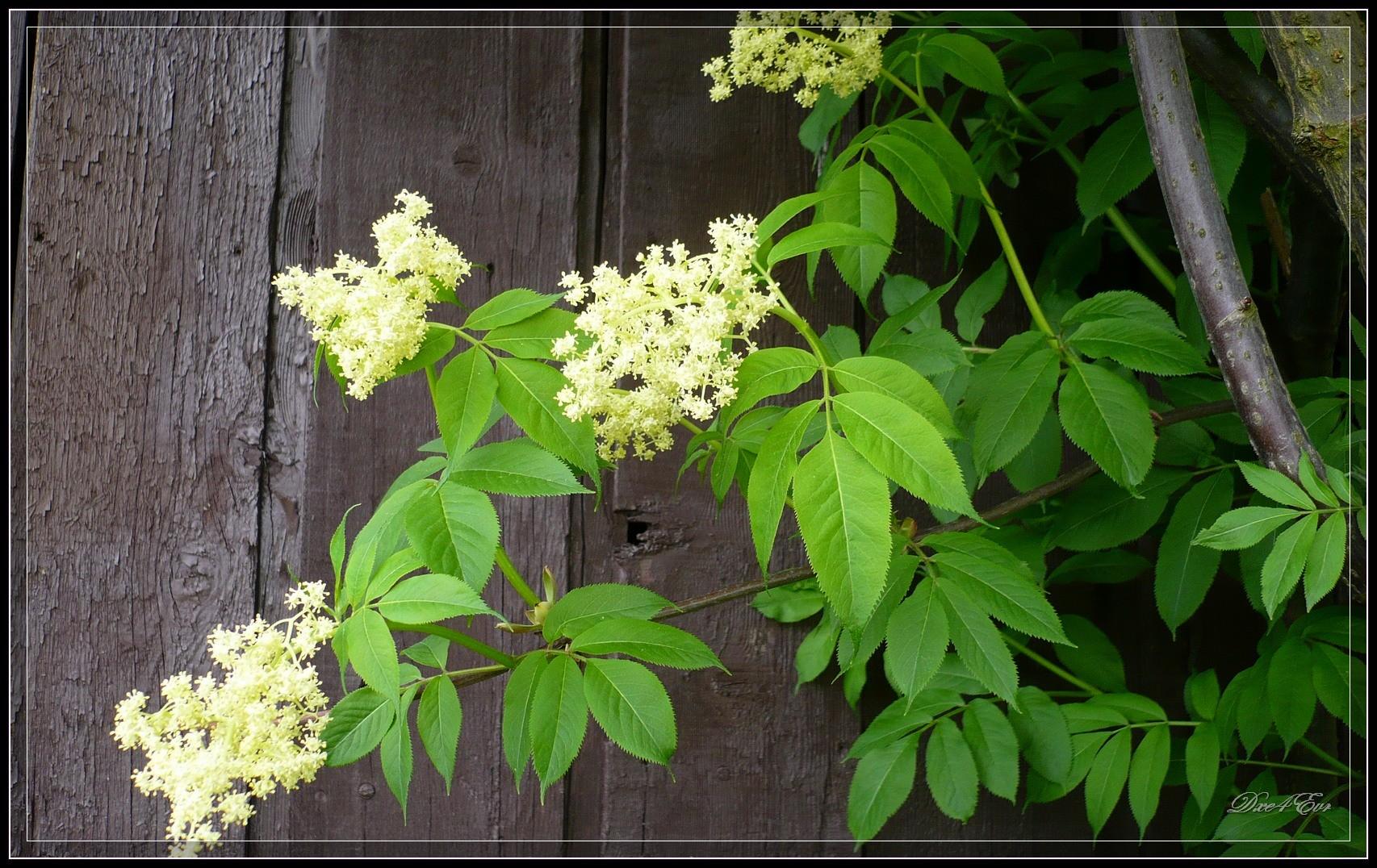 Co jste nevěděli o černém bezu, část 1: květ