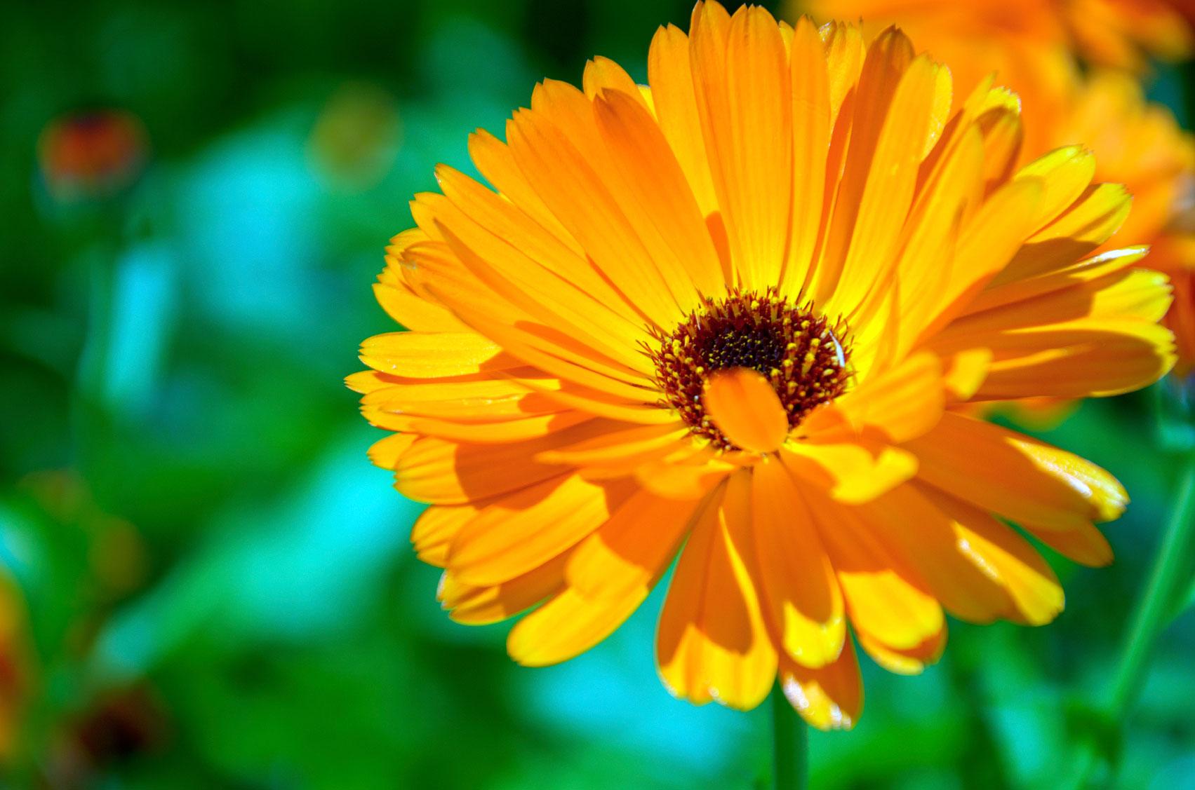 Měsíček lékařský: když květy chutnají i léčí