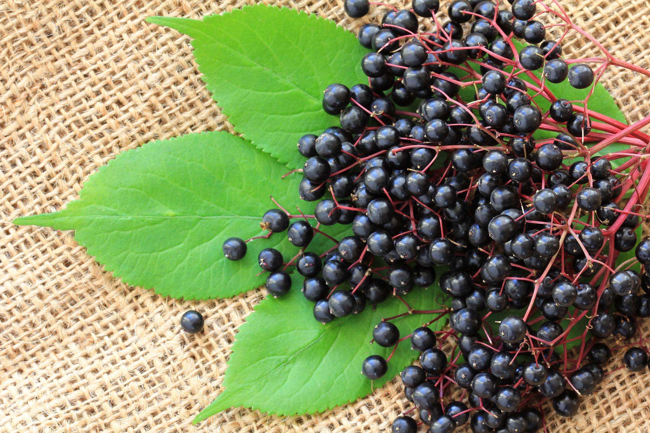 Co jste nevěděli o černém bezu, část 2: plod